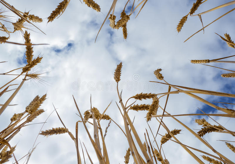Wheat growing royalty free stock image