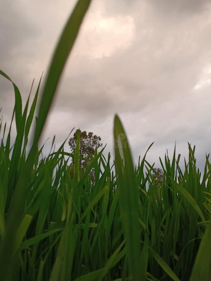 Wheat growing plants in fields. stock image
