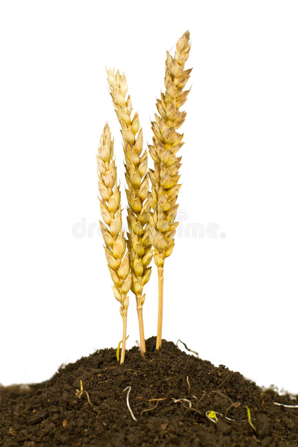 Wheat Grows Stock Image