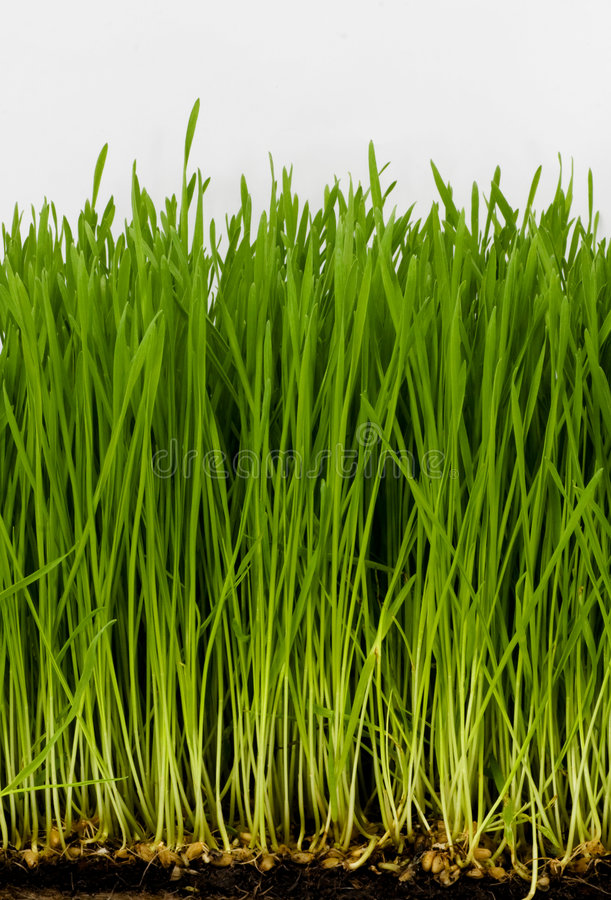 Wheat-grss. Wheat grass with white background royalty free stock photo