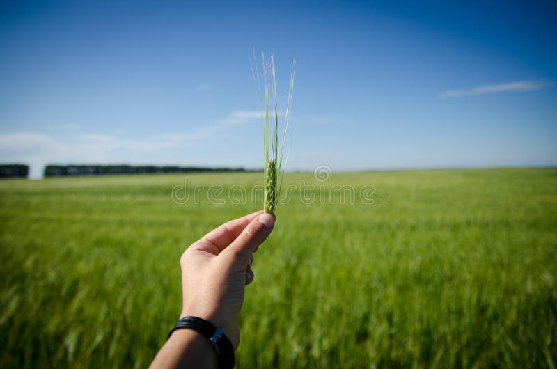 Wheat in the hands royalty free stock photos