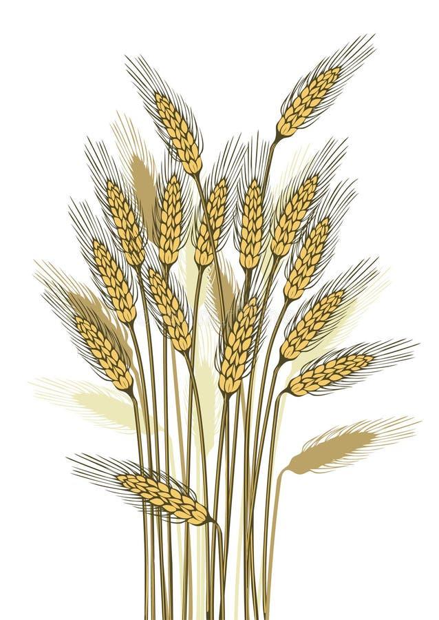 Wheat harvest. Detailed illustration of ripe ears for designs stock illustration