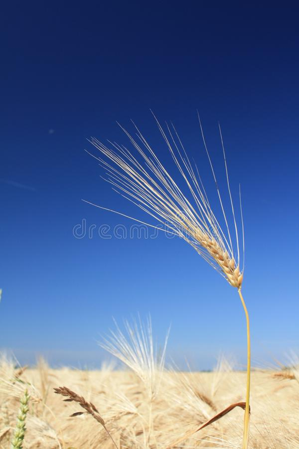 Wheat before harvest - close up stock images