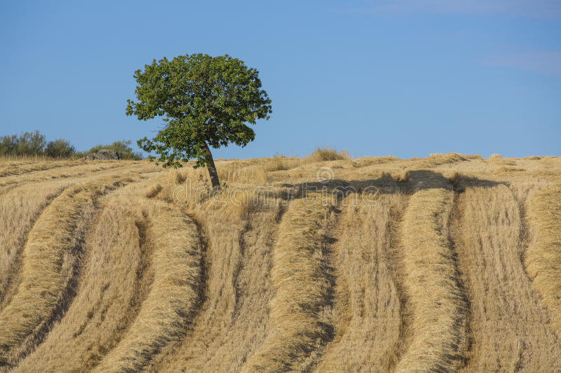 Download Wheat Harvest, Fields And Landscapes Stock Photo - Image: 26538686