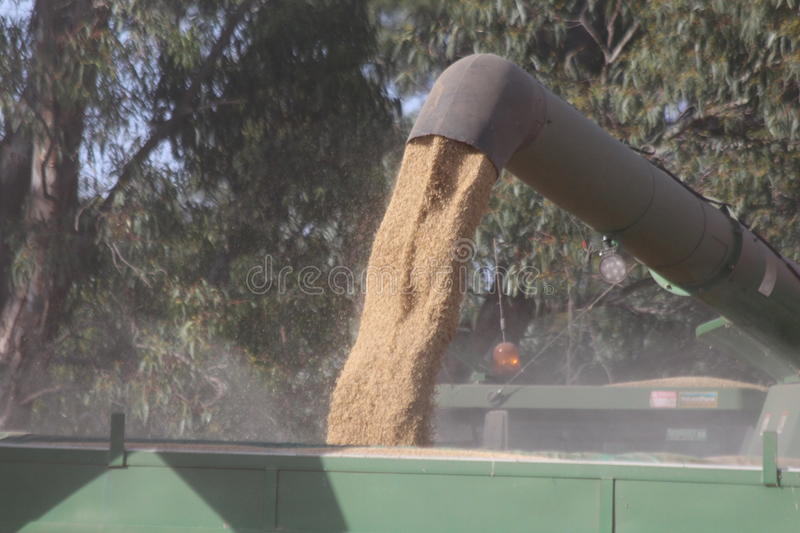 Wheat Harvest Pouring Into Grain Silo. The wheat which has been harvested is being poured into the grain silo ready for storage and use in lean times royalty free stock images