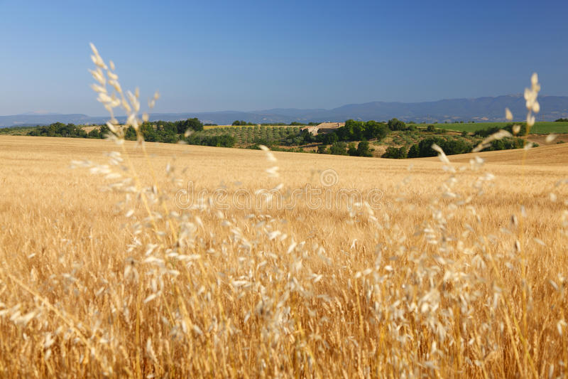 Download Wheat stock photo. Image of colorful, growth, outdoors - 35084376