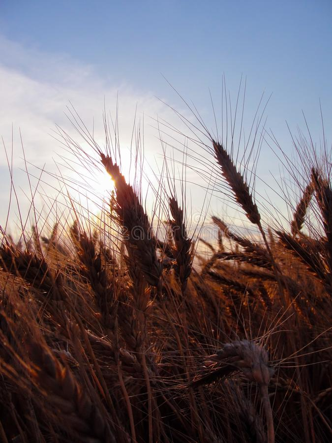 Wheat in summer royalty free stock photography