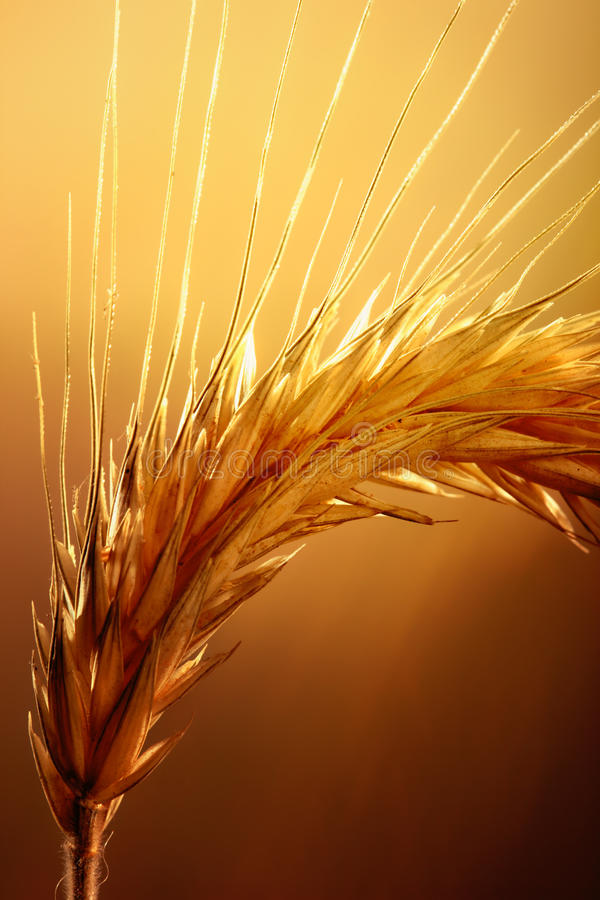Wheat macro. Macro of wheat against strong and warm backlight stock photos