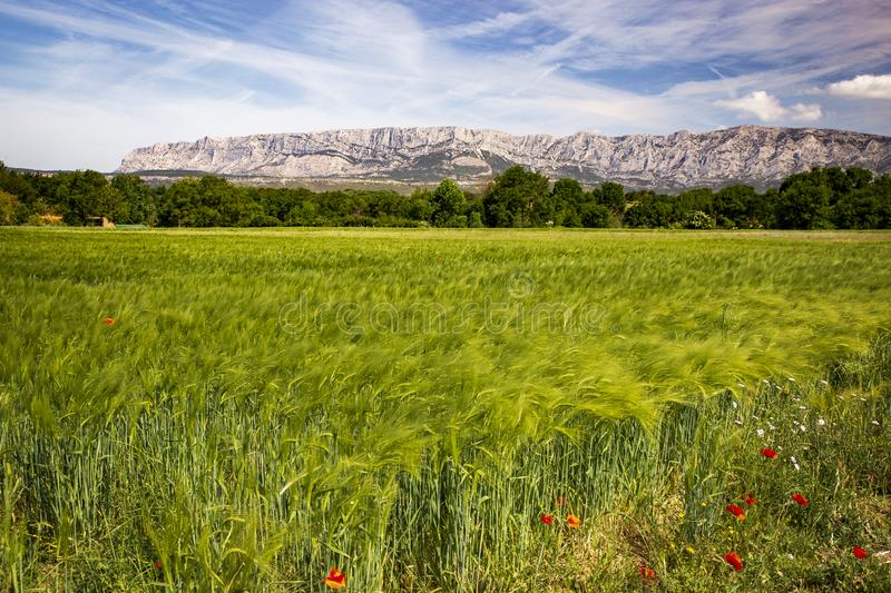 Wheat meadow close  to Sainte Victoire mountain near aix en Provence. France royalty free stock images