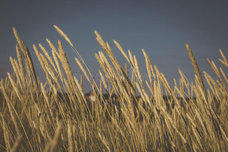 Wheat meadow royalty free stock photo