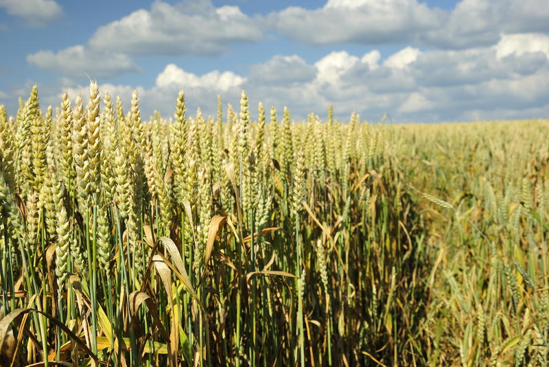 Wheat meadow field closeup royalty free stock photography