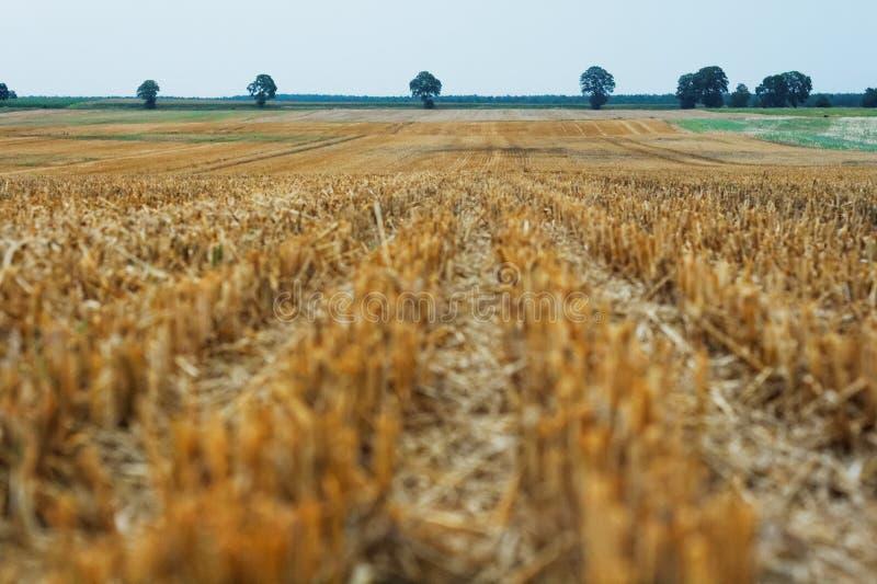 Wheat meadow stock photo