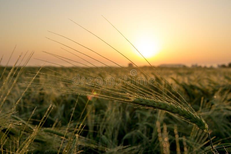 Wheat in morning stock photo