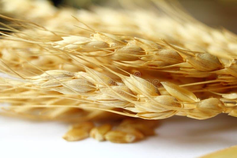Wheat oats barley or rye grain ears closeup stock photo