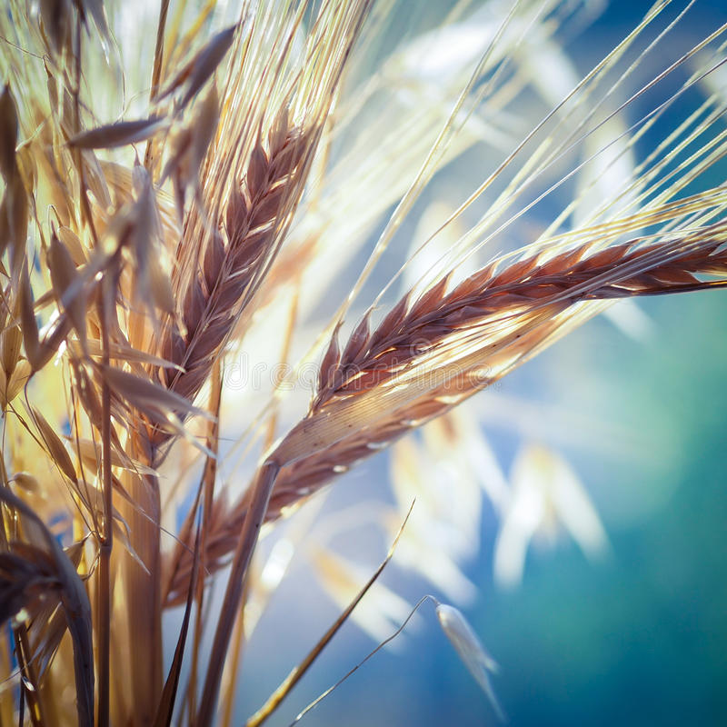 Wheat and oats royalty free stock photography