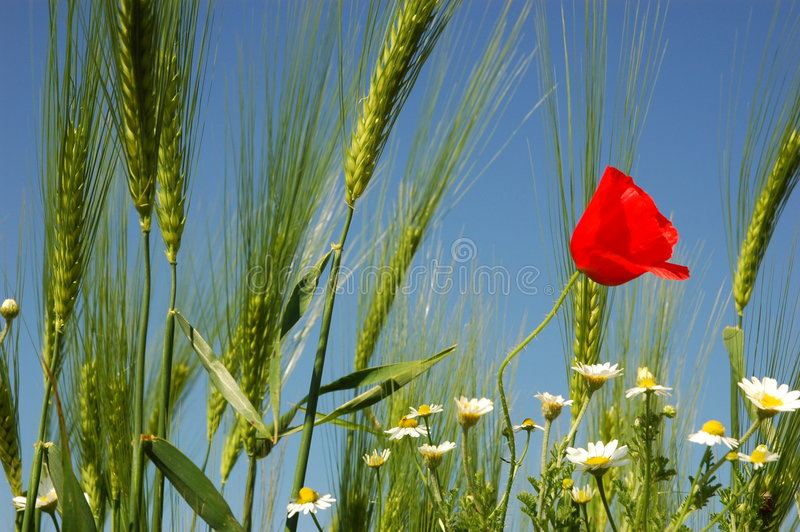 Download Wheat ok sky stock image. Image of spot, wheat, summer - 136179