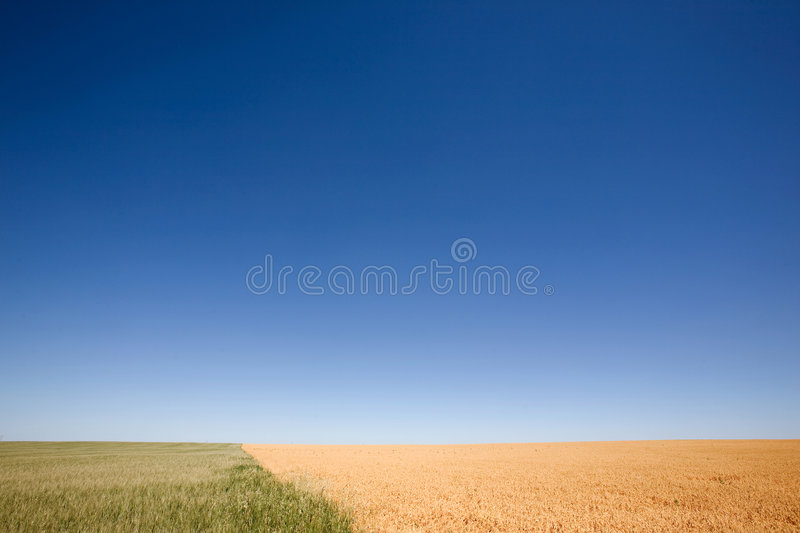 Wheat and Peas Contrast. A wheat field contrasted against a pea field with a flat prairie horizon royalty free stock photography