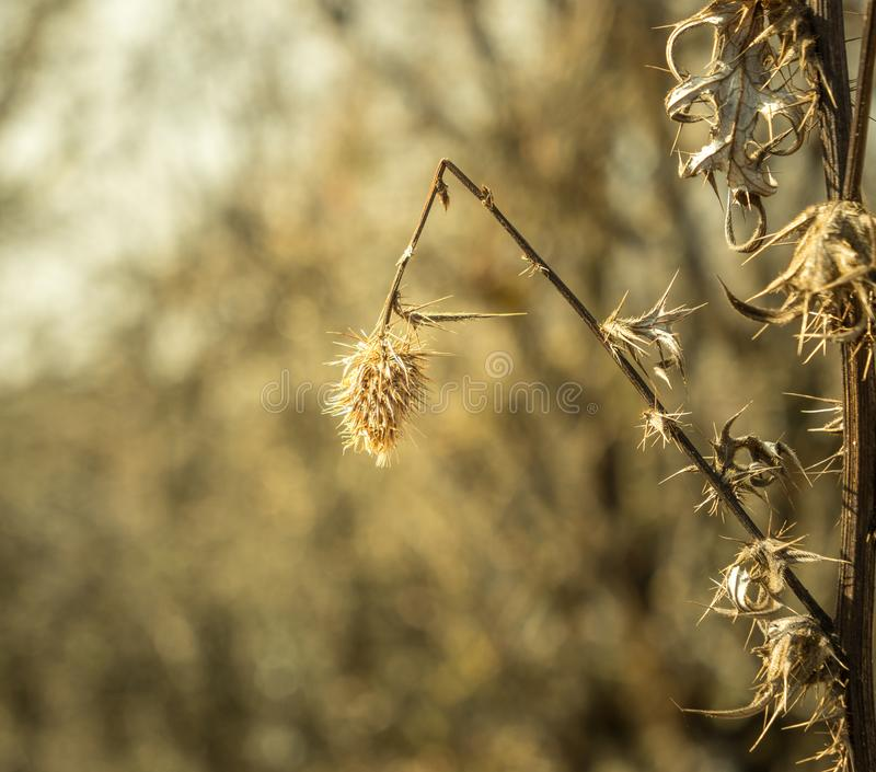 Wheat plant closeup royalty free stock photography