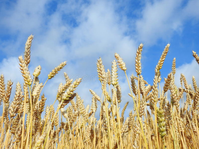 Wheat plants field royalty free stock images
