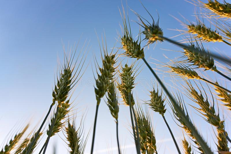 Wheat plants from a low perspective at sunset. Close-up of grain or wheat plants from a low perspective at sunset under a blue sky with copy space stock photos