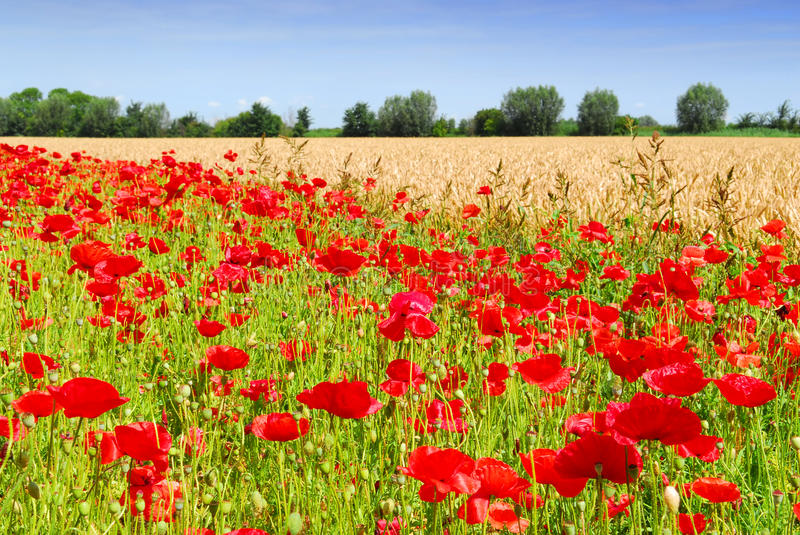 Download Wheat and poppies stock image. Image of bread, crop, bloom - 10192611