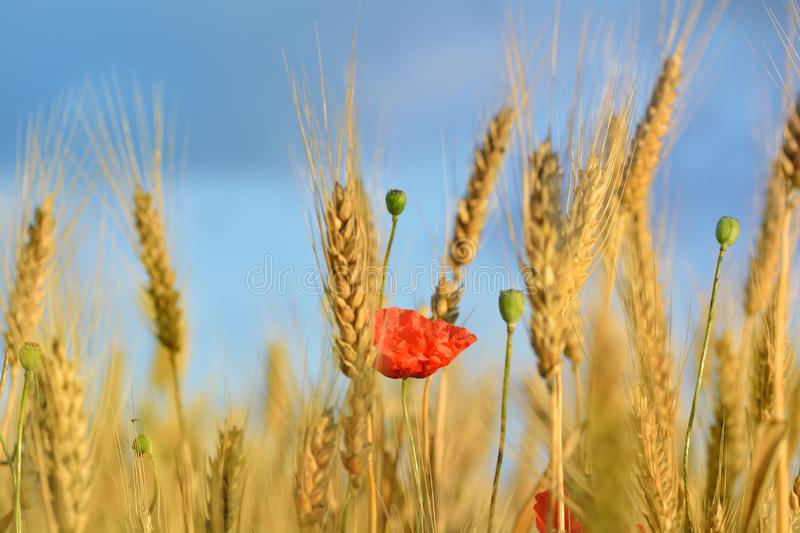 Wheat and poppies. stock photography