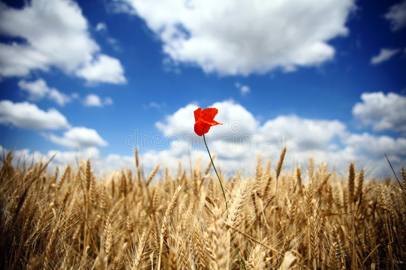 Wheat and poppy flower royalty free stock photography
