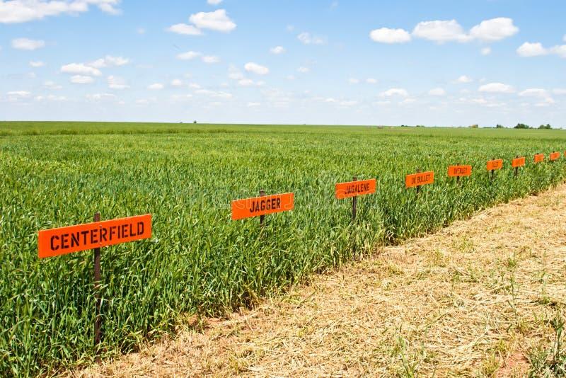 Wheat Research Field stock photo