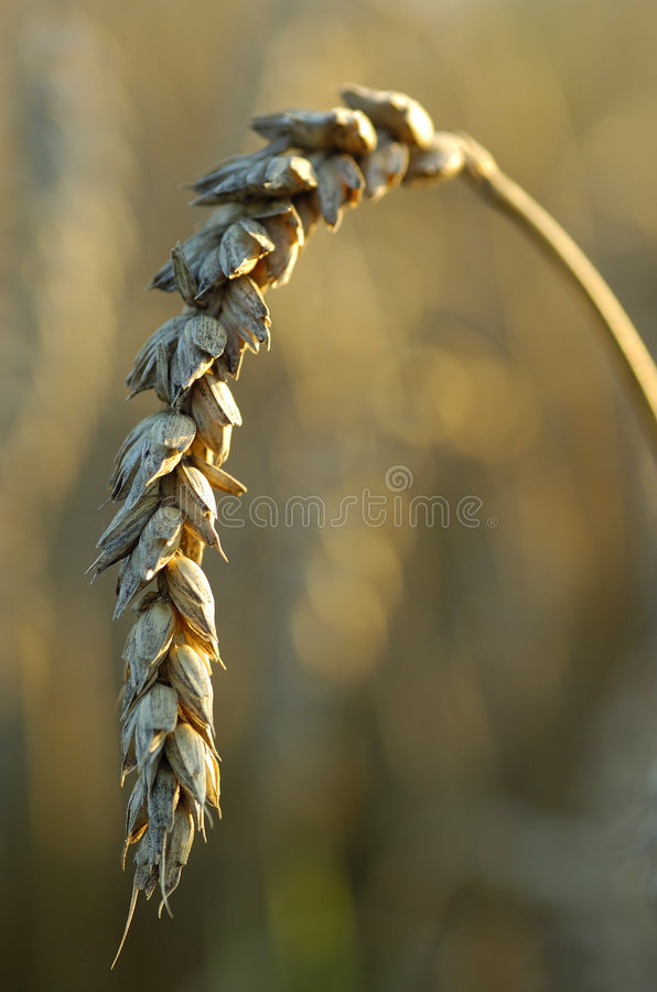 Wheat ripe royalty free stock images