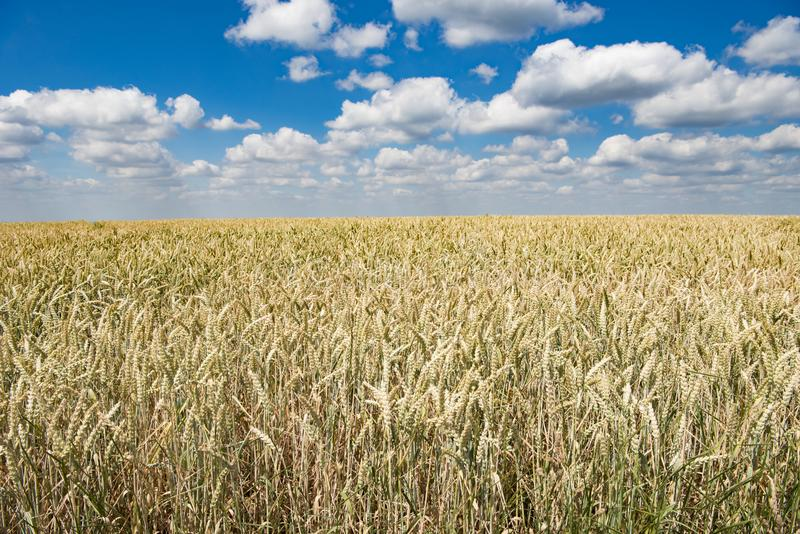 Wheat ripening in summer stock images