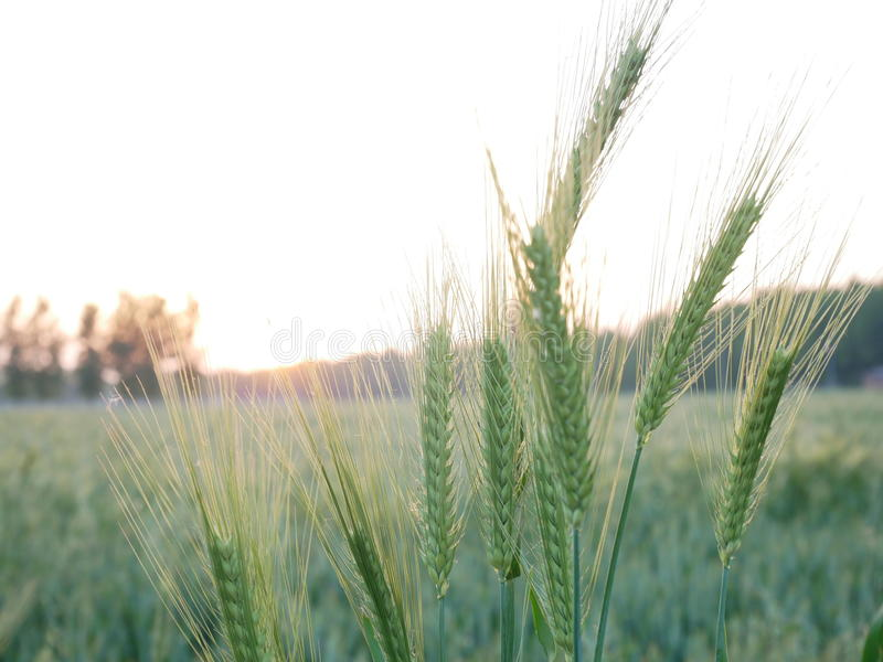 the wheat royalty free stock photography