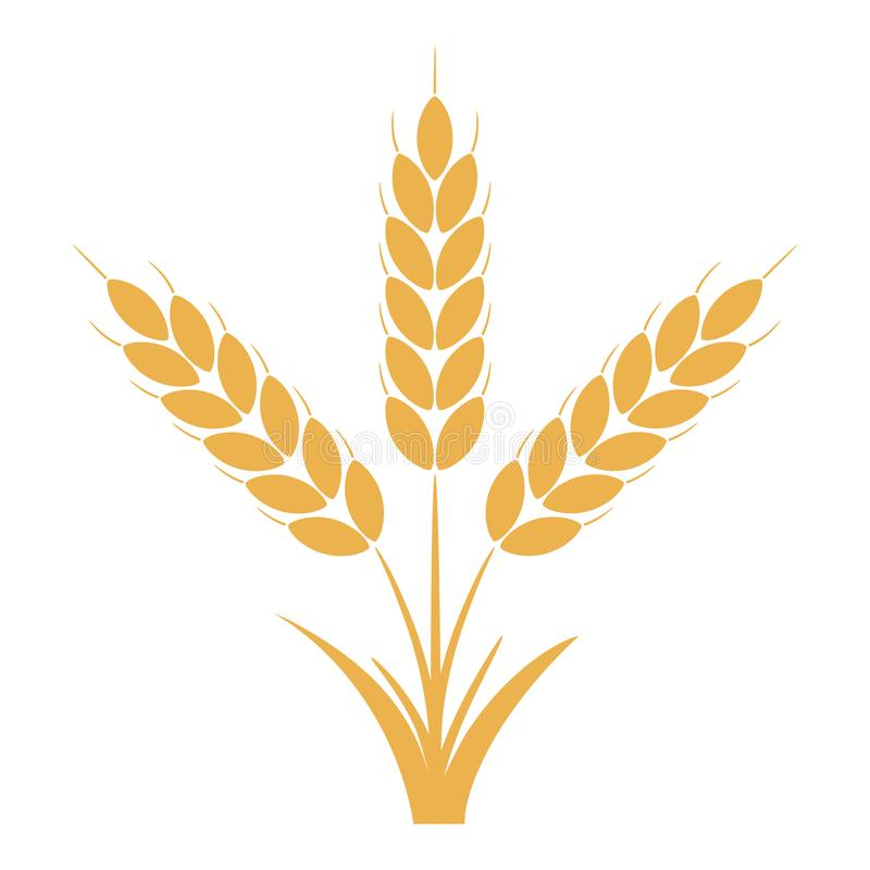 Wheat or rye ears with grains. Bunch of three yellow barley stalks. Vector. vector illustration