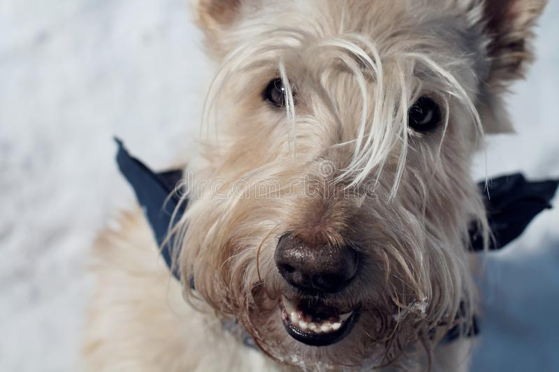 Wheat Scottish Terrier in the snow - close-up royalty free stock image