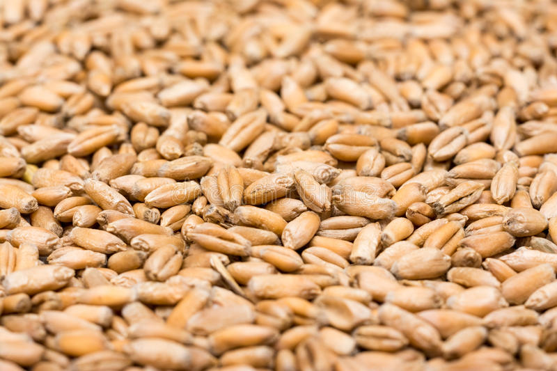 Wheat Seeds Close Up stock photography