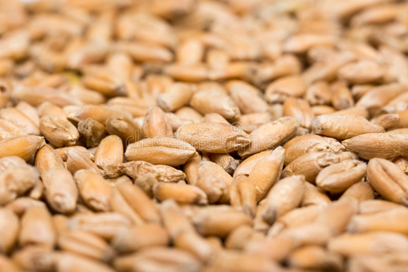 Wheat Seeds Details stock photos