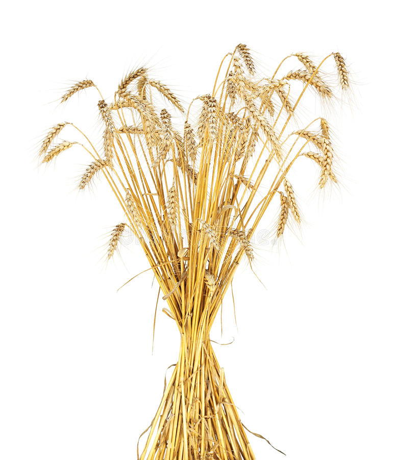 Wheat sheaf. Golden wheat sheaf isolated on white royalty free stock photo