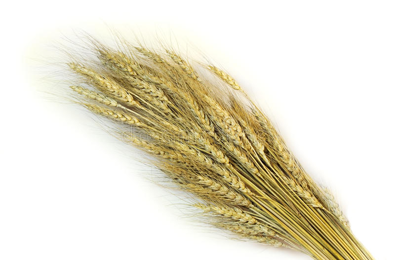 Wheat sheaf. Sheaf from wheat ears on a white background stock images