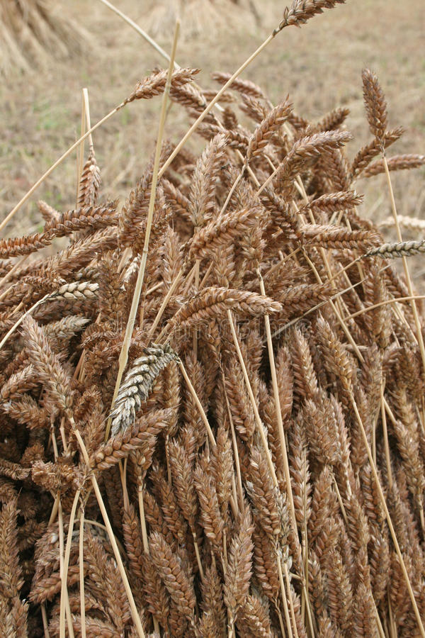 Download Wheat sheaf drying stock photo. Image of corn, growth - 20777168