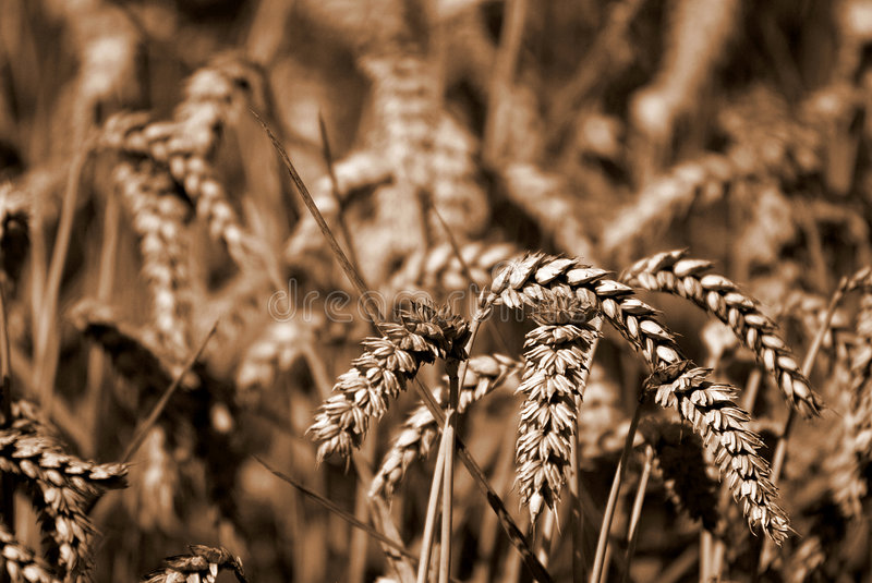 Download Wheat Sheafs stock image. Image of field, abstract, nature - 1069429