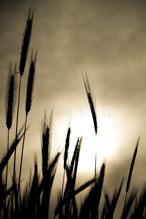 Wheat silhouette stock images