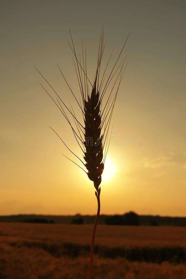 Wheat silhouette at sunset stock photography