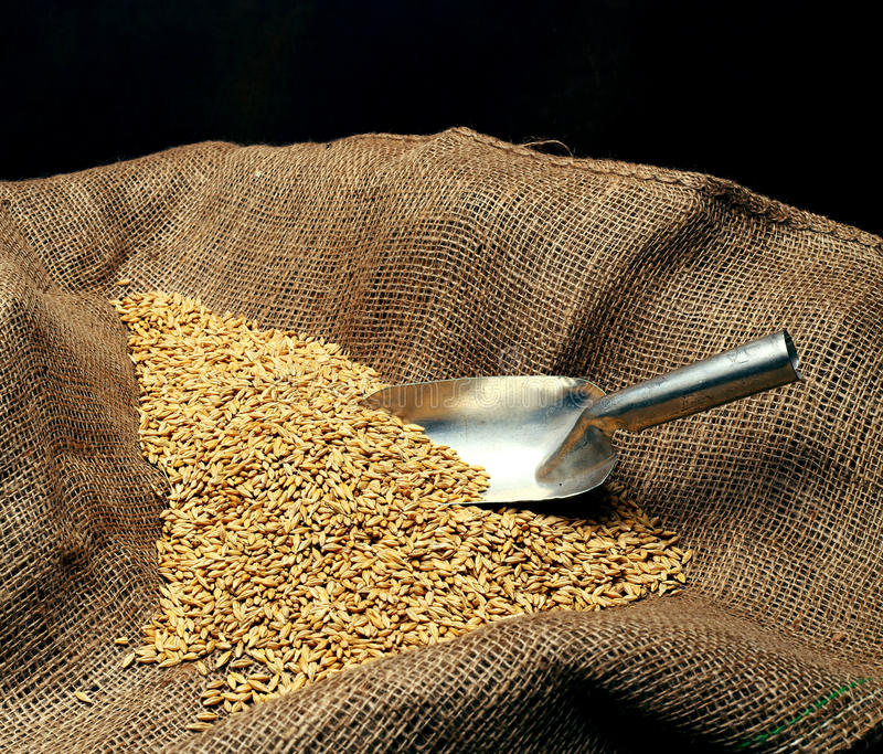 Wheat sowing seed. And metal spoon close up stock image