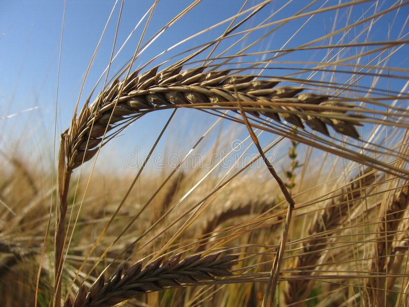 Download Wheat Spike II stock photo. Image of rurally, cereals, wheat - 14362