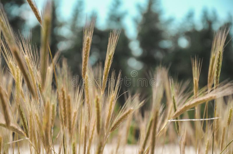 Wheat spike on a sunny day royalty free stock photo