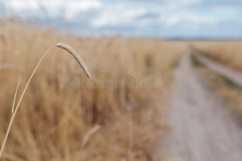 Wheat spikelet on the field royalty free stock images