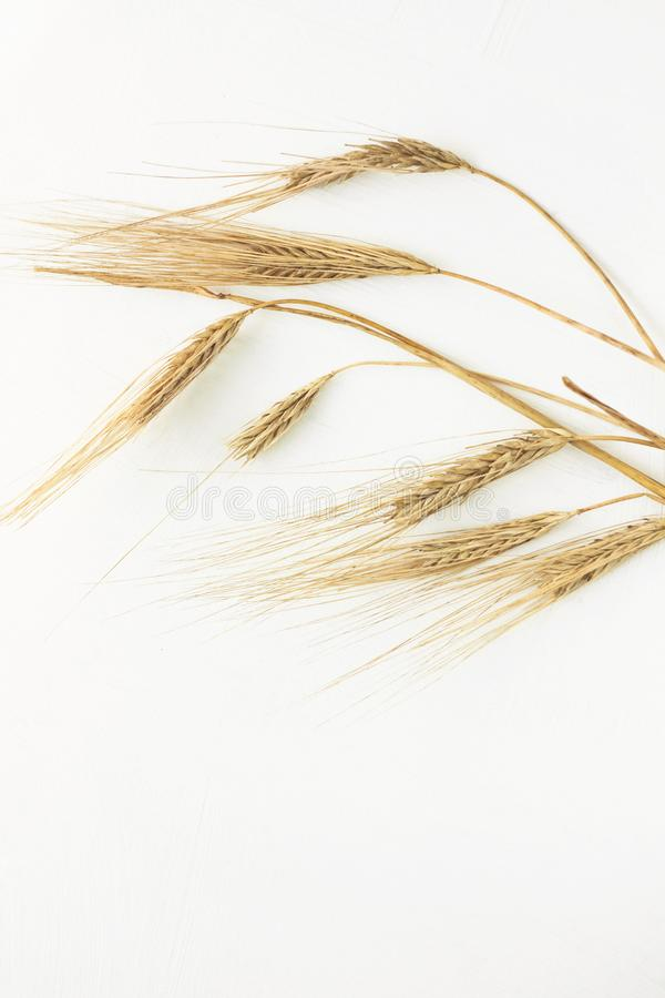 Wheat spikelets on a white background. Healthy eating, autumn harvest, bread baking. Top view, flatlay, copy space, whole, growth, harvesting, cereals, rye stock photography