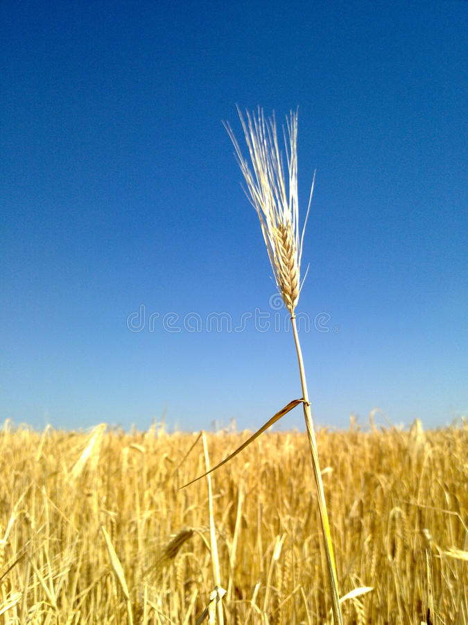 Free Wheat Spikes. Royalty Free Stock Photography - 47195637