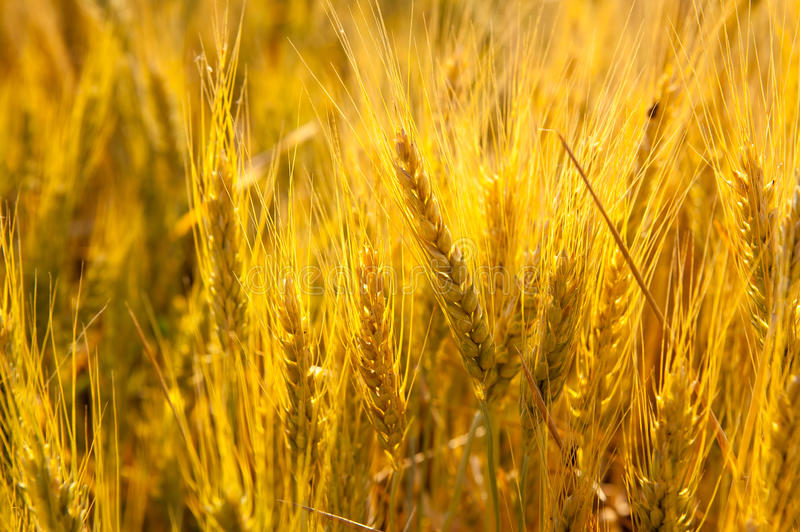 Wheat spikes in golden field with cereal stock photography