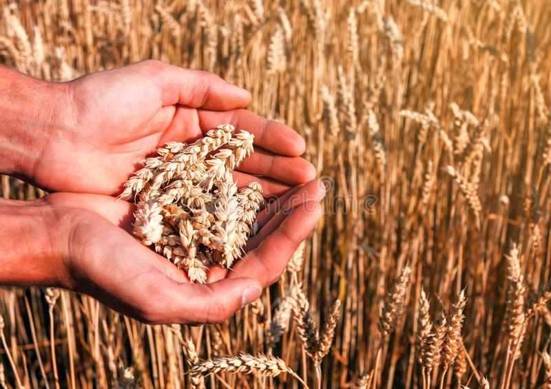 Wheat spikes in the hands stock photos