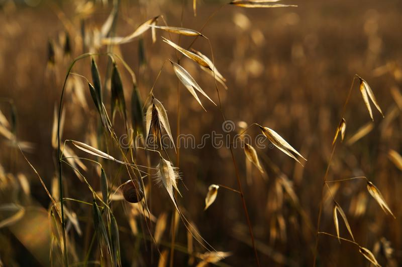 Wheat spikes macro shot during sunset royalty free stock images